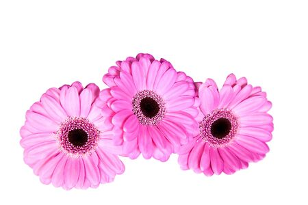 Three pink gerber flowers isolated on white background photo