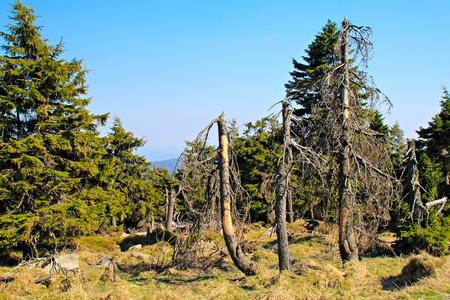 brocken: Coniferous forest on the mountain Brocken in national park Harz