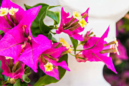 Close up of pink bougainvillea flowers photo