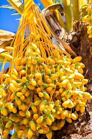 Date palm tree with clusters of fruits photo