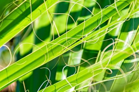 rabbet: Details of green palm leaves