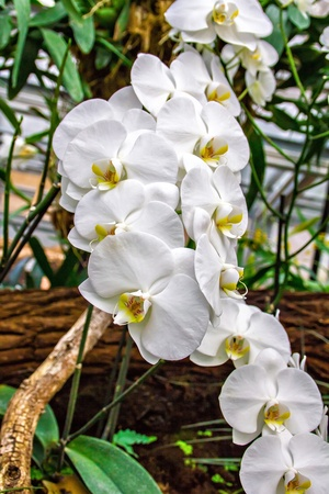 Beautiful white orchid (phalaenopsis) in greenhouse photo