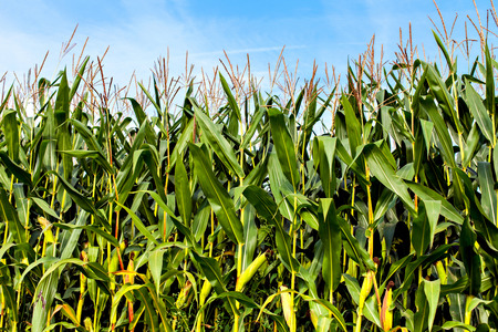 corn rows: The big field of the growing corn plants Stock Photo
