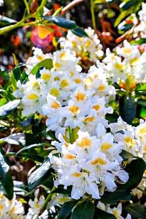 sepals: Beautiful white Rhododendron with yellow pestle