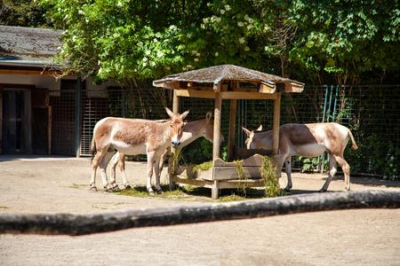 baby ass: Persian Onager Equus hemionus, Asiatic wild ass