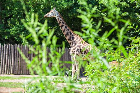 conservation grazing: Giraffe walking in the zoo, Germany