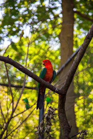 Australian king parrot, Alisterus scapularis Stock Photo