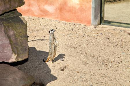 herpestidae: Alert meerkat standing on guard, Herpestidae Stock Photo