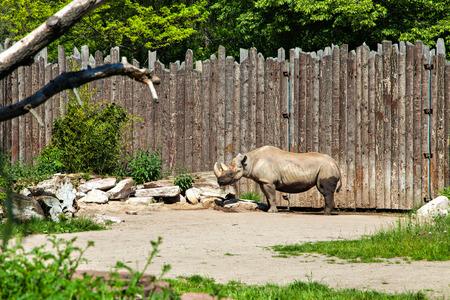 abbreviated: Rinoceronte, spesso abbreviato come rinoceronte, � un gruppo di cinque specie esistenti di dispari a punta ungulati della famiglia Rhinocerotidae Archivio Fotografico