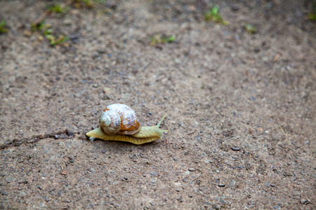 crack climb: Snail  with cracked shell on the ground, Helix pomatia