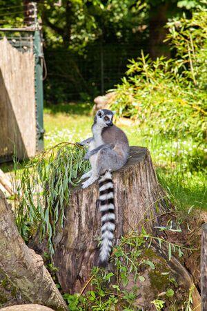 ring tailed: Ring Tailed Lemur, Lemur Catta