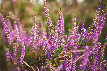Beautiful purple heather moorland at the forest in Belgium