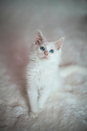 maine coon: White kitten Maine Coon sitting on the white carpet Stock Photo