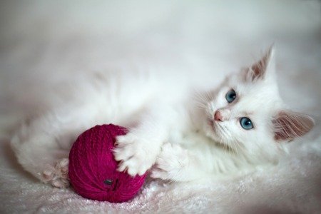 White kitten Maine Coon playing with a ball of yarn