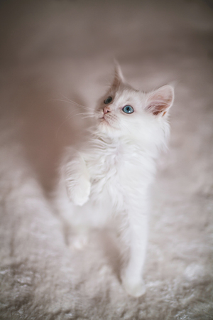 maine coon: White kitten Maine Coon with paw raised