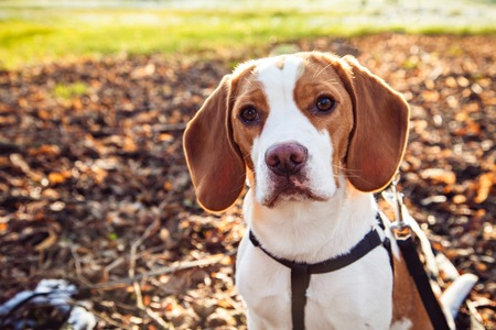 Beagle dog on a meadow in the autumn park Stock Photo