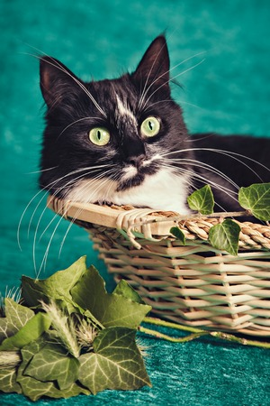 Black and white cat sitting in a straw basket near green leaves Stock Photo