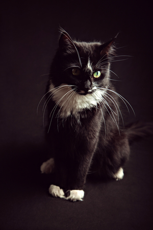 Sitting black and white Norwegian Forest Cat in front of black background