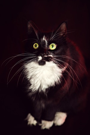 Sitting black and white Norwegian Forest Cat in front of background Stock Photo