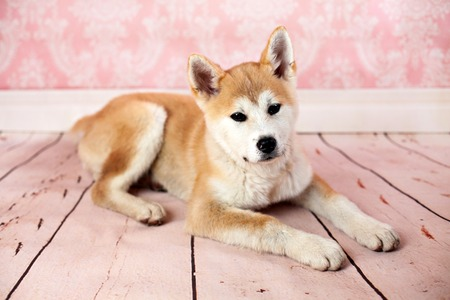 Cute Akita Dog At Home On The Floor