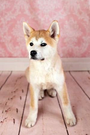 Great Japanese Dog Stock Photo