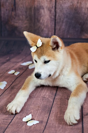 butterflys: Cute Dog With Deco Butterflys Resting