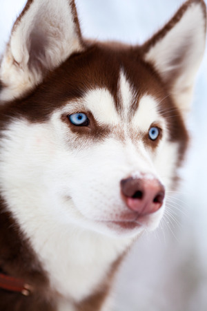 Portrait of bue eyed husky dog