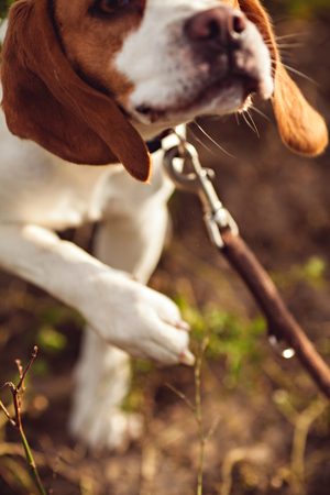 Dog On A Leash Stock Photo