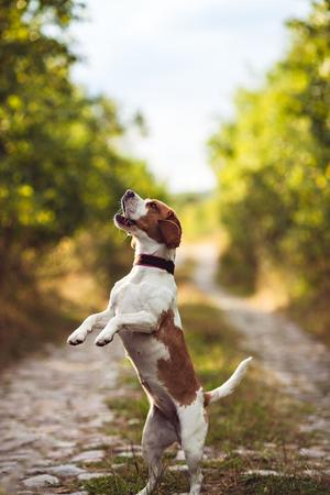 Ein netter Beagle-Hund bittet Standard-Bild