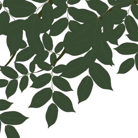 Autumn walnut leaves on tree branch. Vector Illustration
