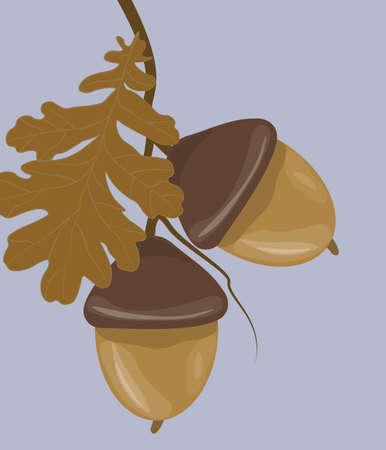 acorn: Acorn close up. Vector Illustration
