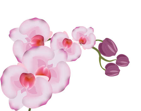 branch isolated: Orchid flowers isolated background. Vector