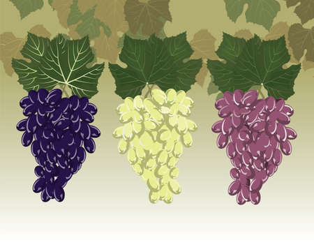 clusters: Grapes clusters set. Vector