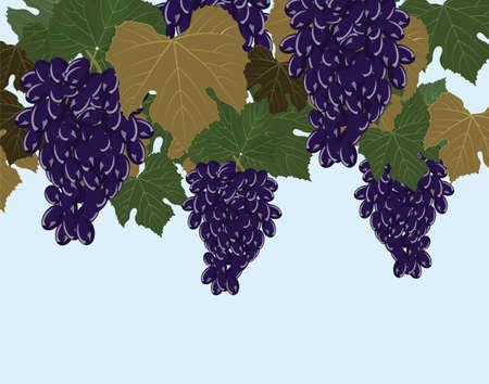 clusters: Red Grapes clusters. Vector