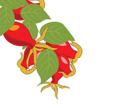 Sweetbrier Zweig getrennt. Vektor