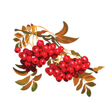 Red Viburnum berries branch. Vector