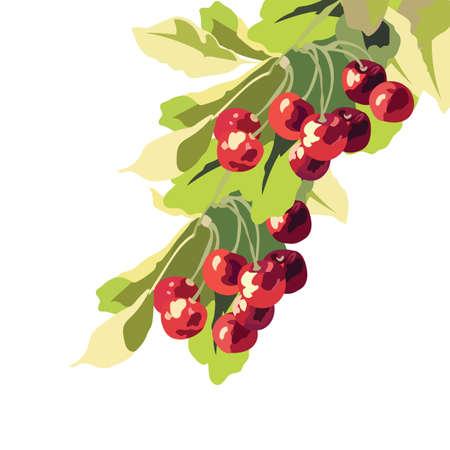 watercolor technique: Ripe Red Cherry fruits Vector Watercolor technique Illustration