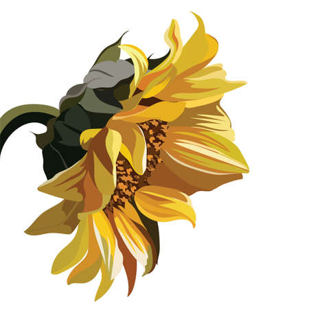 sunflower isolated: Watercolor Vintage Sunflower isolated on white. Vector flower