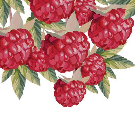raspberries: Watercolor Raspberries fruits Vector Illustration