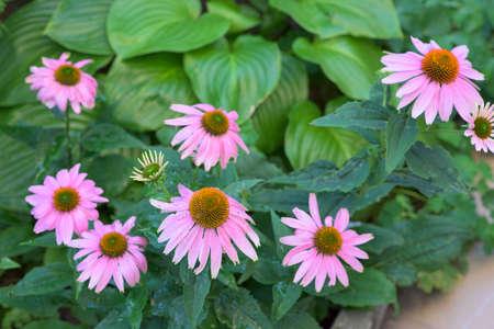 coneflowers: Purple coneflowers in a garden