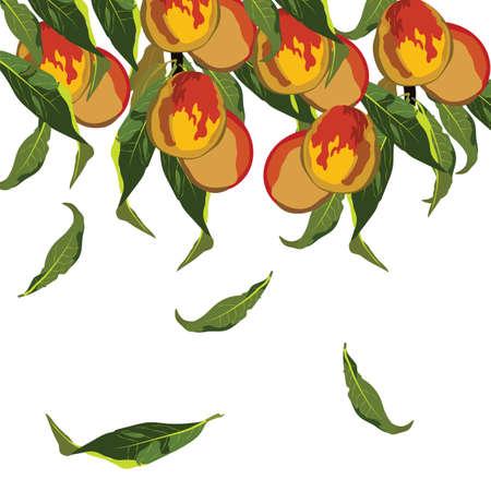peaches: Fresh growing peaches  Vector