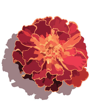 Marigold flower isolated on white Vector