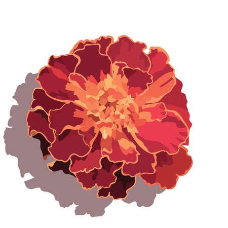 marigold: Marigold flower isolated on white Vector