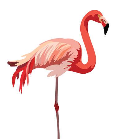 subtropics: Flamingo bird isolated on white background Vector