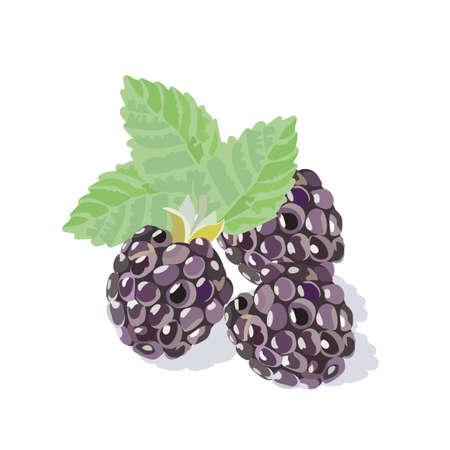 Verse aquarel heerlijke Blackberry geïsoleerd Vector illustratie Vector Illustratie