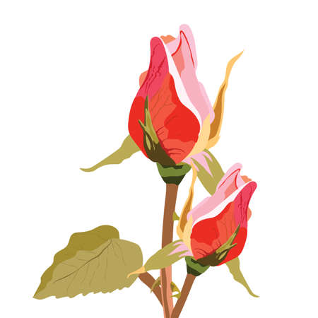 Delicate rose flower buds isolated Vector. Vintage delicate flower blossom for wedding, marriage, bridal, birthday, Valentines day. Romantic vector illustration Çizim