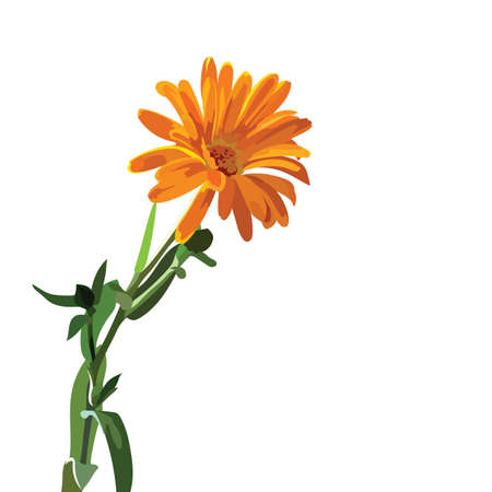 aster: Beautiful Aster flower isolated on white Vector