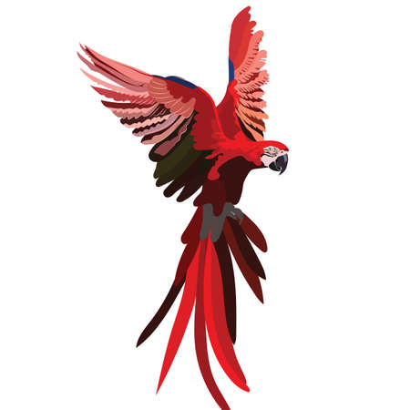 Colorful Red flying parrot illustration. Vector isolated