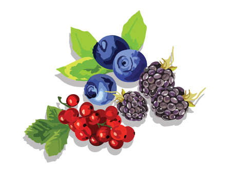 cranberry fruit: Blackberry, blueberry and cranberry fruit set Vector in Watercolor style