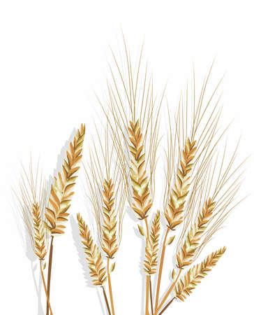 wheat isolated: Wheat isolated on white Vector